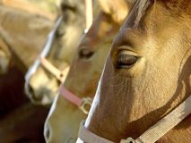 Heads of horses in a farm at sunset Royalty Free Stock Photos