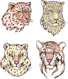 Heads of leopard and cheetah Stock Images