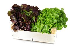 Heads of lettuce Royalty Free Stock Photography