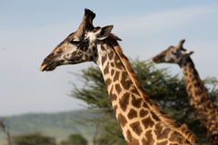 Heads of masai giraffes Stock Photos