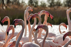 Heads, necks and beaks of flamingos. Close-up image of a beautiful group of flamingos, with heads, necks and beaks in evidence stock photography