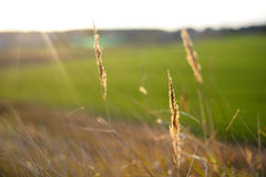 Heads of ripe yellow grass. Against the sun Stock Photography