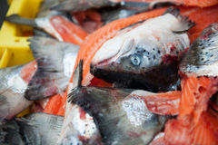 Heads of salmon fishes Stock Images