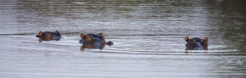 Heads of three hippo sticking out of the water to hide from a su Royalty Free Stock Photo