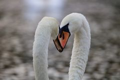 Heads Together - Swan Teamwork. Heads Together - Mute Swans Cygnus olor come together with their heads touching as part of a bonding and courtship ritual royalty free stock image