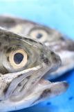 Heads of trouts Royalty Free Stock Images