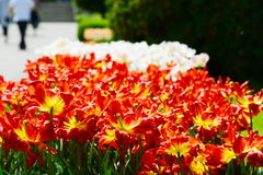Heads of tulips at the entrance to the botanical garden from Cluj Stock Image