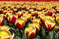 Heads on tulips Royalty Free Stock Images