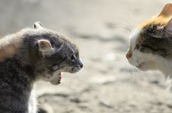 Heads of two aggressive cats facing each other, hiss at each oth Stock Photo
