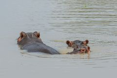 Heads of Two Big Hippos in the Lake in the Mikumi National Park, Tanzania stock photo