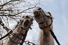 Two carriage horses Stock Photo