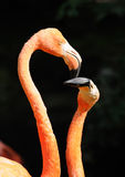 Heads of two flamingos Stock Images