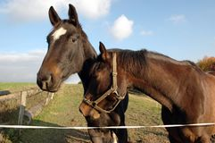The heads of two horses. Royalty Free Stock Photography
