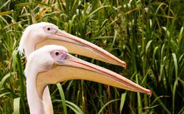 The heads of two pelican stock image