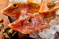 Heads of two raw fresh gurnard fish Stock Image