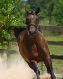 Heads up!. A bay arabian mare gallops towards the camera kicking up dust as she goes Stock Photography
