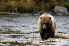 Heads up, bear is coming. Wild grizzly bear in river in autumn Royalty Free Stock Images