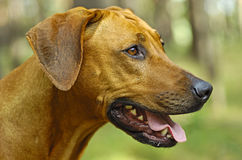 Headshoot of a rhodesian ridgeback dog Stock Image