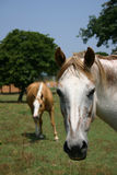 headshot άλογο Στοκ Εικόνα