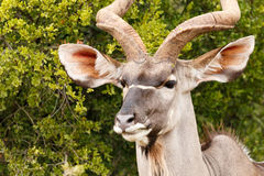 Headshot ενός μεγαλύτερου Kudu Στοκ Φωτογραφία