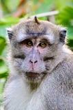 Headshot ενός με μακριά ουρά Macaque Στοκ Εικόνες