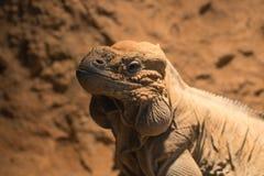 Headshot του rhinocerous iguana  iguana βράχου Στοκ φωτογραφία με δικαίωμα ελεύθερης χρήσης