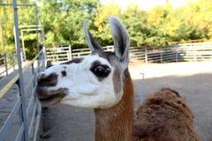Headshot Of Adult Female Lama Glama Stock Photography