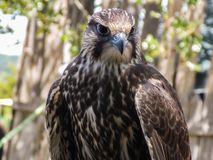 African Lanner Falcon royalty free stock photo