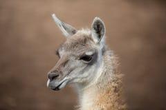 Headshot of an alpaca Stock Photos
