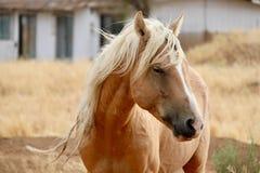 Headshot americano del caballo salvaje del mustango del semental salvaje del Palomino imagen de archivo libre de regalías