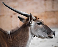 Headshot of an Antelope. Portrait of an antelope in zoo royalty free stock photography