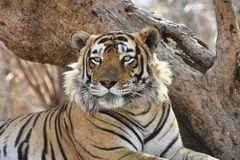 Headshot ascendente próximo do tigre do tigre fotografia de stock royalty free