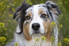 Headshot of Australian Sheperd in field of flowers Royalty Free Stock Images