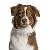 Headshot of a Australian Shepherd (7 months old) Stock Images