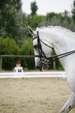 Headshot av en grå dressyrsporthäst i handling royaltyfria foton