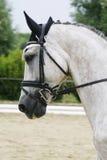 Headshot av en grå dressyrsporthäst i handling Arkivfoto