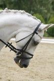 Headshot av en grå dressyrsporthäst i handling Royaltyfri Fotografi