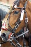Headshot av en häst arkivfoto