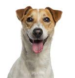 Headshot av en Jack Russell Terrier (18 gamla månader) Royaltyfri Fotografi