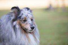 Headshot av en Shetland fårhund arkivfoton