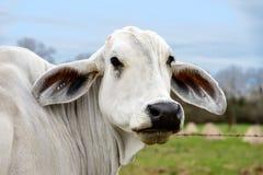 Headshot av en vit ko av den amerikanska brahmanaveln Royaltyfri Fotografi