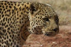 Headshot av leoparden med långa morrhår Fotografering för Bildbyråer