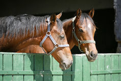Headshot av två fullblods- hästar Royaltyfri Bild
