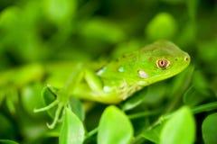 Headshot of a Baby Green Iguana Royalty Free Stock Photos