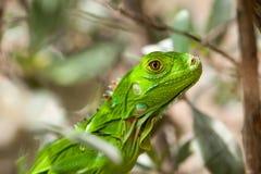 Headshot of a Baby Green Iguana Royalty Free Stock Image