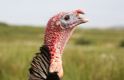 A headshot of a beautiful turkey Meleagris gallopavo . Stock Images