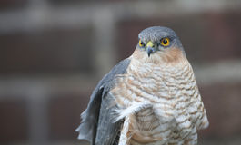 A headshot of a beautiful, wild, Sparrowhawk, Accipiter nisus, perched on a garden fence looking around for its next meal. stock photos