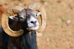 Headshot of a Big Horned Ram Royalty Free Stock Image