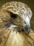 Headshot of a Bird of Prey. Head shot of a bird of prey against a dark background Royalty Free Stock Image