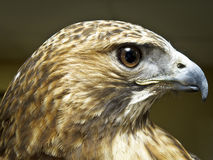 Headshot of a Bird of Prey Royalty Free Stock Photos